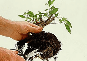Lifting a plant from its soil